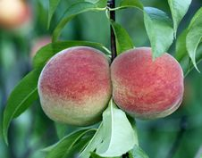 Free Peaches Royalty Free Stock Photography - 25502517