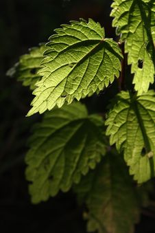 Nettle Leaf Stock Images