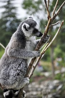 Free Lemur Kata Stock Image - 25503791