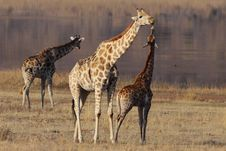 Free Giraffe Affection Stock Image - 25504081
