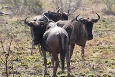 Free Blou Wildebeest Stock Photography - 25504112