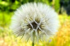 Free White Dandelion Stock Photos - 25504213