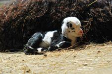 Free Young Pygmy Goat Stock Photo - 25507190