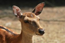 Free Sika Deer Stock Photography - 25507242