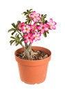 Free Desert Rose Impala Lily Mock Azalea Royalty Free Stock Photography - 25511167