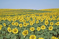 Free Field Of Sunflowers Stock Photos - 25513573
