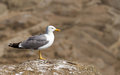 Free Seagull Stock Image - 25517011