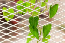 Free Green Climbing Leaves On The White Metal Net Stock Photo - 25510160