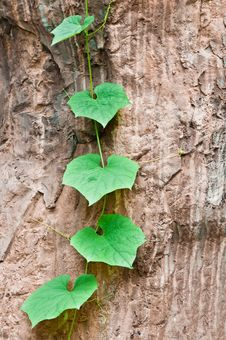 Free Green Climbing Leaves On The Stone Stock Image - 25510171