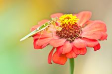 A Praying Mantis &x28; Mantis Religiosa&x29; On Red Zinnia Royalty Free Stock Image