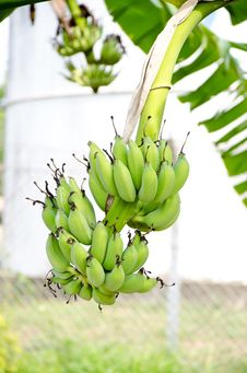 Free Banana Tree Royalty Free Stock Photo - 25510975