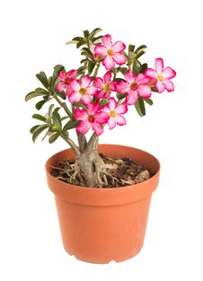 Free Desert Rose Impala Lily Mock Azalea Royalty Free Stock Photography - 25511167