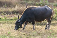 Free Buffalo In Thailand Royalty Free Stock Images - 25512189