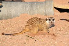 Free Meerkat Royalty Free Stock Photography - 25512267