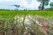 Free Rice Seedlings Royalty Free Stock Image - 25512346