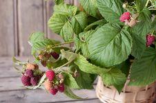 Free Raspberry Royalty Free Stock Photos - 25515998