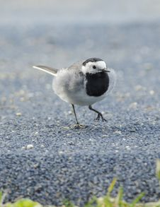 White Wagtail Royalty Free Stock Image