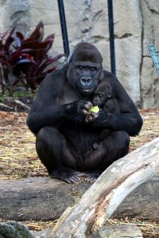 Gorilla Mother And Infant. Royalty Free Stock Photography