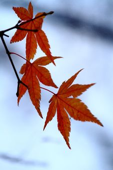 Free Seoraksan Maple Tree Stock Photography - 25516592