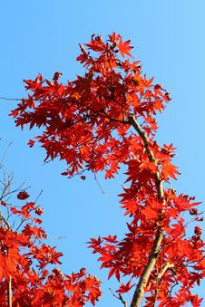 Free Seoraksan Maple Tree Stock Images - 25516594