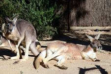 Free Kangaroos Royalty Free Stock Photos - 25516618