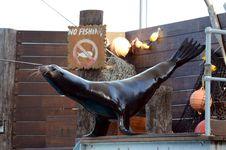 Sea Lion Balancing Act. Stock Photography