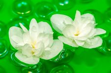 Free Delightful White Jasmine Flowers Floating On Water Stock Images - 25516734