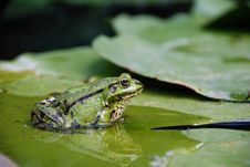 Free Frog On A Lily Leaf In Pond Royalty Free Stock Photography - 25521807