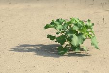 Free Plant In The Sand Stock Images - 25521854