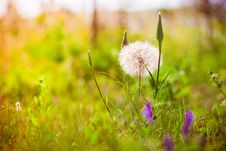 Free Dandelion On The Sunset Stock Images - 25521904
