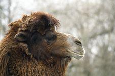 Free Camel Royalty Free Stock Photo - 25522855