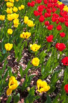 Free Field Full Of Red And Yellow Tulips In Bloom . Stock Photos - 25524773