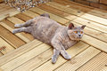 Free Luxury Decking Pedigree Cat Stock Photo - 25538400