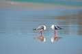 Free Seagulls Preening Themselves Stock Image - 25539041