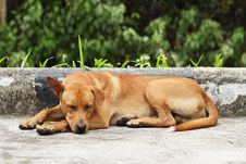 Free Brown Dog Royalty Free Stock Photos - 25531788
