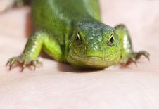 Free Portrait Of Green Lizard Royalty Free Stock Image - 25533096