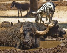 Free Buffalo In The Mud And Zebra Stock Photo - 25533380