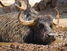 Free A Dirty Buffalo In The Mud Royalty Free Stock Photo - 25533415