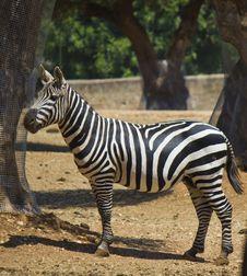 Free Beautiful Zebra Royalty Free Stock Photo - 25533475