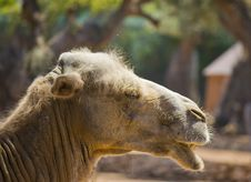 Free Head Of A Camel Stock Image - 25533531