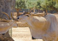 Free Two Antelopes Stock Photos - 25533603