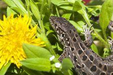 Free Beautiful Lizard On Flowers Royalty Free Stock Photo - 25533785