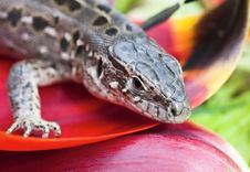 Free Portrait Of Lizards Royalty Free Stock Photography - 25533807