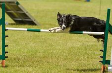 Free Collie At Agility Royalty Free Stock Image - 25534006