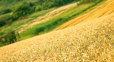 Free Wheat Field Royalty Free Stock Image - 25535006