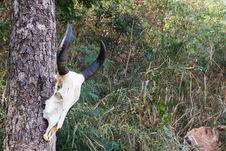 Skull Buffalo Royalty Free Stock Photo