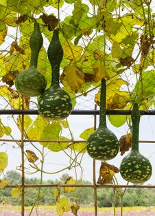Free Squash Growing On Vine Stock Photo - 25538090
