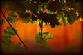 Free Grape Leaves Stock Photo - 25545540