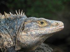 Free Spiny Iguana Stock Photos - 25540253
