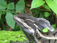 Free Basilisk Lizard Stock Images - 25540254